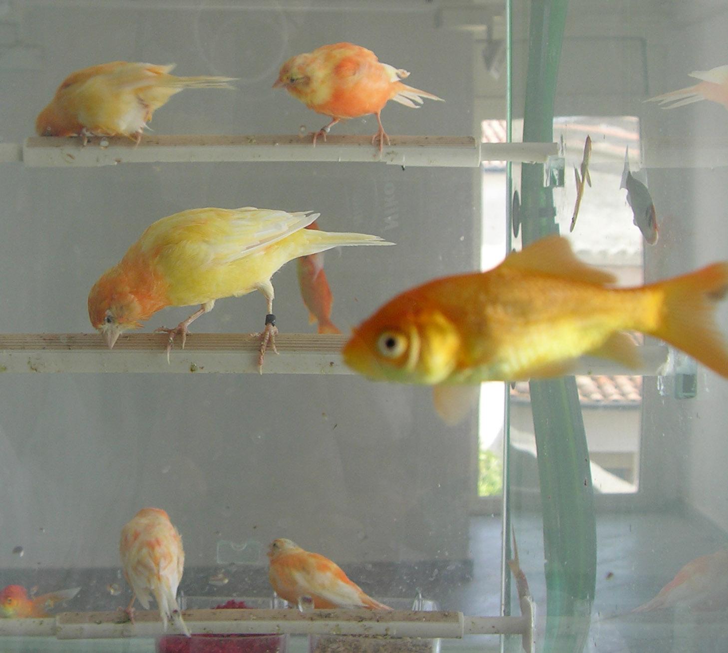 Robert Gligorov, H2O, 2001, pesci, canarini, 120 x 80 x 70 cm, courtesy Galleria Pack, Milano